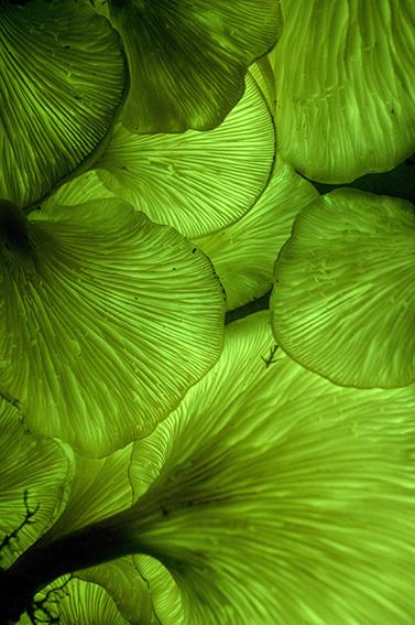 Omphalotus nidiformis glowing